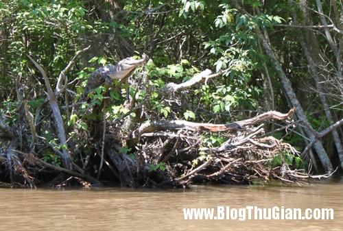 climbing croc 140211 8047 1392258051 Cá sấu trèo cây.
