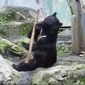 Fung Fu gấu là có thật.