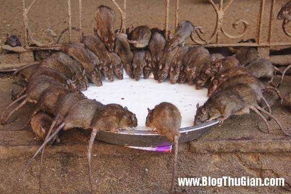 rung minh ngoi den nuoi 20000 con chuot1 Ngôi đền duy nhất trên thế giới nuôi 20.000 con chuột