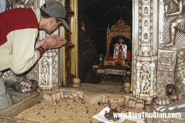 rung minh ngoi den nuoi 20000 con chuot4 Ngôi đền duy nhất trên thế giới nuôi 20.000 con chuột