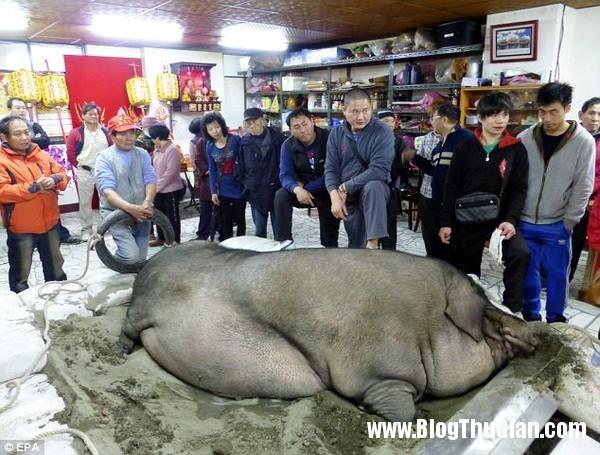 than lon khong lo nang ngot nghet 1 tan Ngôi vị quán quân  Thần lợn đã thuộc về chú lợn nặng gần 1 tấn.