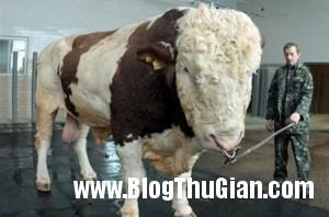 140324 1bo 5de20 300x198 Chú bò có thân hình khổng lồ nhất thế giới