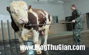 140324 2bo 5de20 300x187 Chú bò có thân hình khổng lồ nhất thế giới