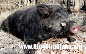 bat duoc quai vat lon rung khong lo nang 227kg1 300x189 Săn được quái vật rừng nặng hơn 220kg