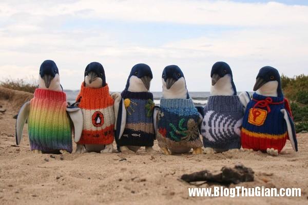 dan ao len cho chim canh cut Đan áo cho chim cánh cụt