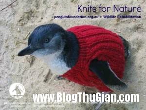 dan ao len cho chim canh cut1 300x225 Đan áo cho chim cánh cụt