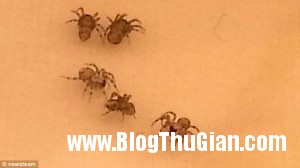 hoang hon vi dan nhen doc trong nai chuoi3 300x168 Cả đàn nhện độc làm tổ trong nải chuối