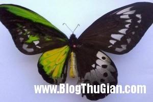 140429 1buom a8753 300x199 Choáng với con bướm mang hai giới tính khác nhau trên cơ thể
