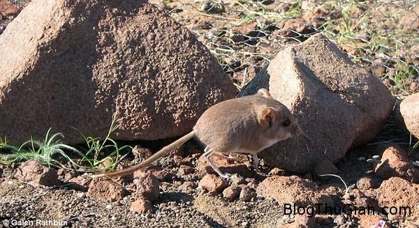 130627 3chuot 3d6ab Phát hiện loài chuột mũi dài cực đáng yêu.