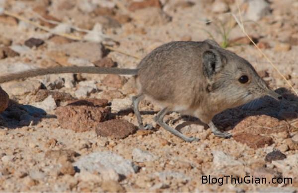 130627 4chuot 3d6ab Phát hiện loài chuột mũi dài cực đáng yêu.