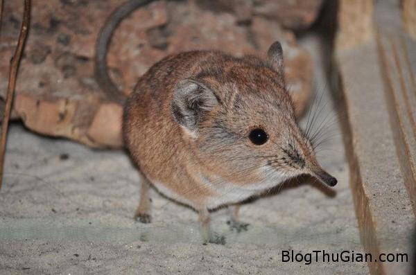 130627 5chuot 3d6ab Phát hiện loài chuột mũi dài cực đáng yêu.