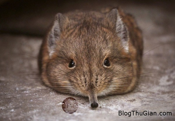130627 6chuot 3d6ab Phát hiện loài chuột mũi dài cực đáng yêu.