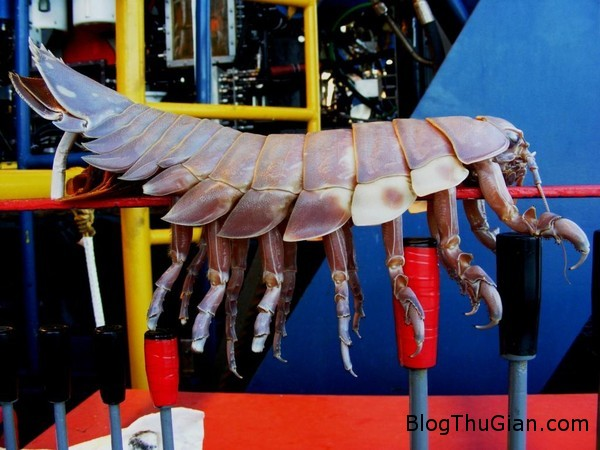 140609 3ran 74234 Cận cảnh loài rận biển có chiều dài tối đa 40cm và nặng 1.7kg