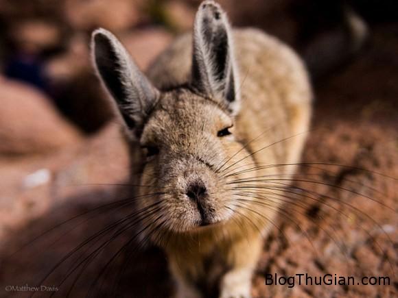 140610 1chuot f9dac Chú chuột có thân hình thỏ con đáng yêu