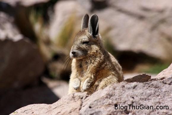 140610 2chuot f9dac Chú chuột có thân hình thỏ con đáng yêu