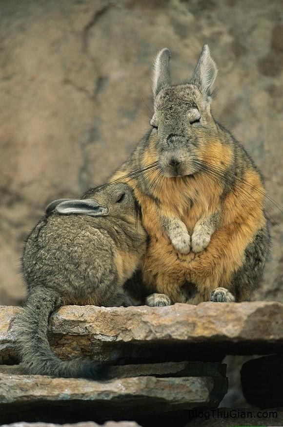 140610 5chuot f9dac Chú chuột có thân hình thỏ con đáng yêu