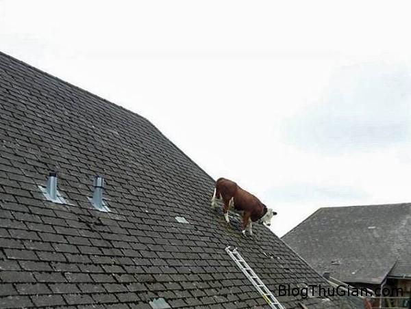140617 1bo 442e7 Đắng lòng cô bò cái chỉ thích leo nóc nhà