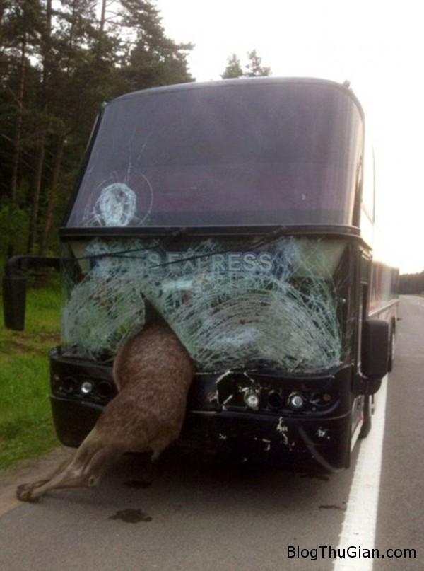 140619 3dam a5d75 Chú nai đâm nát cả cửa kính xe bus hai tầng