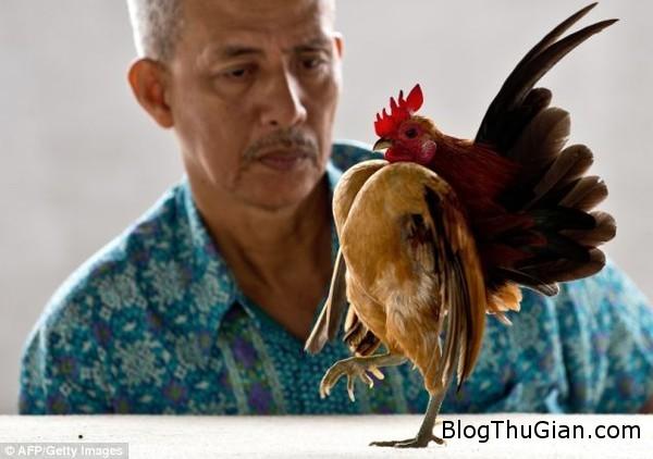 140621 1ga 66409 Giống gà mang thân hình trái tim
