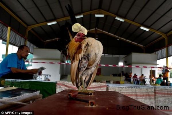 140621 5ga 66409 Giống gà mang thân hình trái tim