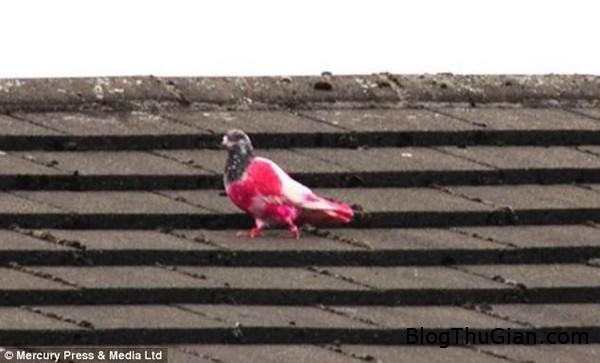 140624 1chim dde2a Chú chim bồ câu có bộ lông hồng cực độc