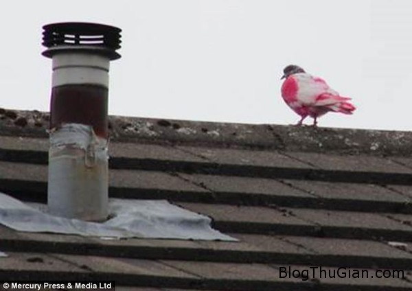 140624 2chim dde2a Chú chim bồ câu có bộ lông hồng cực độc