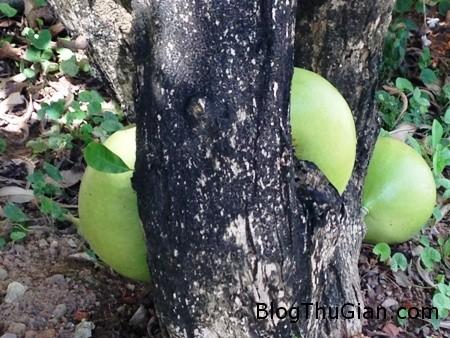 dt31.5trambau4 c2041 Quả đào tiên mọc giữa thân cây
