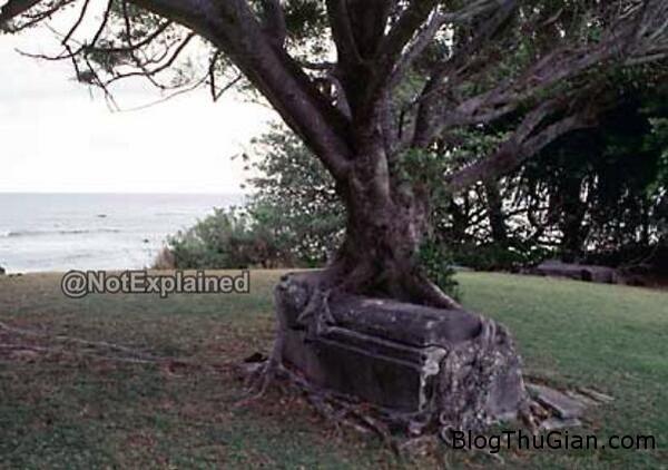 140421 1cay d3f37 Cây thây ma ôm chặt lấy quan tài trong Công viên Lịch sử Quốc gia Kalaupapa
