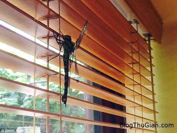 140429 1chuon 1a932 Xuất hiện chuồn chuồn khổng lồ có chiều dài hơn 20cm