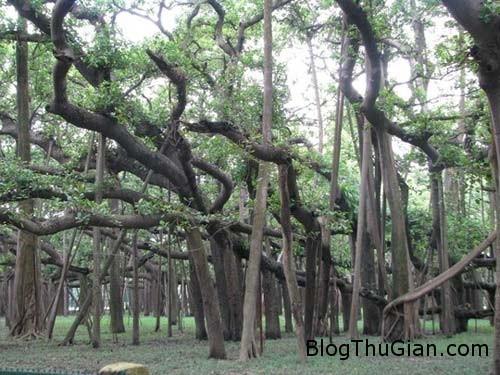 1406429513 1406383729 cay khong lo1 Loại cây hoang dã có diện tích lớn hơn cả một siêu thị