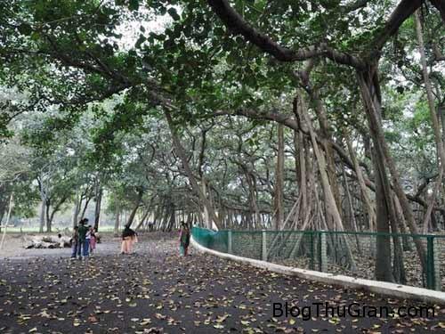1406429513 1406383729 cay khong lo2 Loại cây hoang dã có diện tích lớn hơn cả một siêu thị