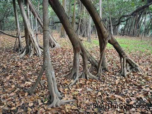 1406429513 1406383729 cay khong lo3 Loại cây hoang dã có diện tích lớn hơn cả một siêu thị