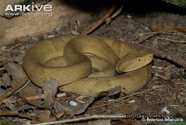 140702 2ran 7824d Phát hiện loài rắn có thể làm tan chảy thịt con mồi
