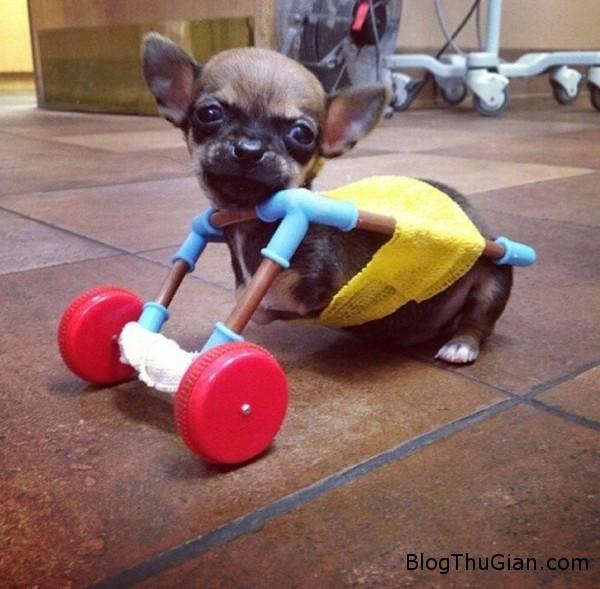 140725 1cho 81267 Vẻ đáng iu của chú chó chihuahua chỉ có hai chân