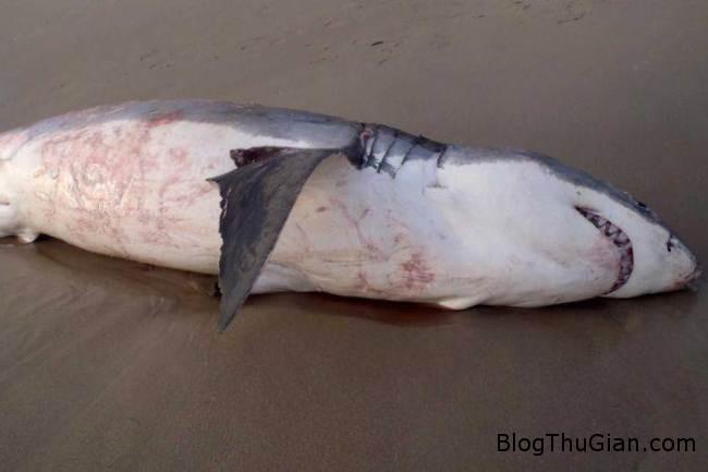 ad 140804648 1 Cá mập chết vì nghẹn sư tử biển
