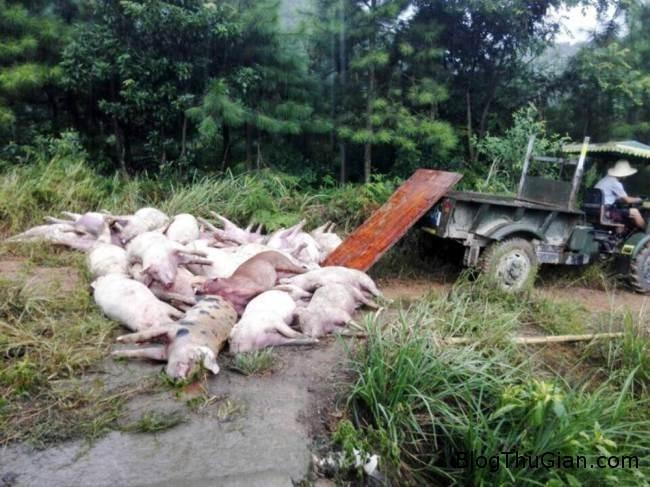 ad 141898609 Quả cầu sét rơi vào chuồng lợn 170 con được nướng chín tại chỗ