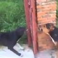 Nếu không có cánh cửa thì hai con chó đã xử đẹp nhau rồi =)))