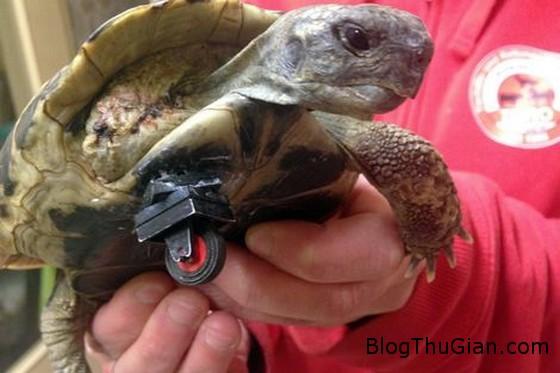 schildi the turtle 93fbb Chú rùa có chân giả được làm từ bánh xe