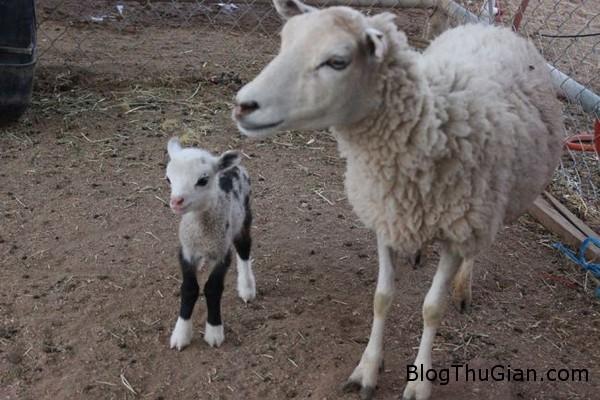 140803 1de a90ce Chú dê lai cừu đầu tiên có vẻ ngoài cực đáng iu