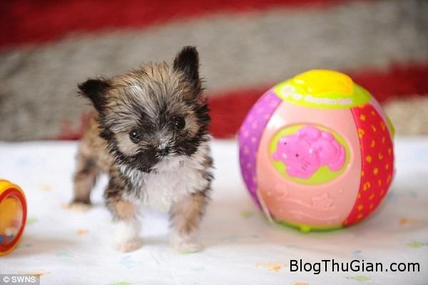 140822 1cho 3ce5b Ngắn nhìn vẻ đáng yêu của chú chó nhỏ nhất nước Anh