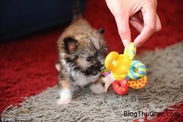 140822 3cho 3ce5b Ngắn nhìn vẻ đáng yêu của chú chó nhỏ nhất nước Anh