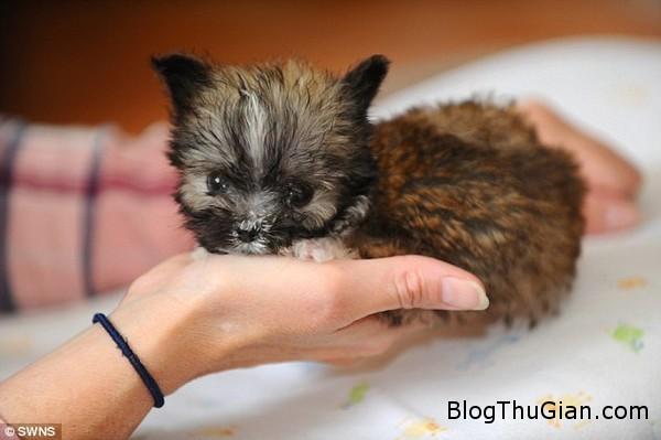 140822 4cho 3ce5b Ngắn nhìn vẻ đáng yêu của chú chó nhỏ nhất nước Anh