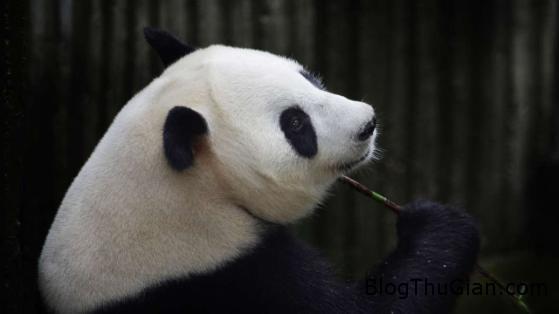 140828 2gau 380af Gấu trúc giả mang thai đánh lừa nhân viên sở thú để được ăn uống thỏa thích