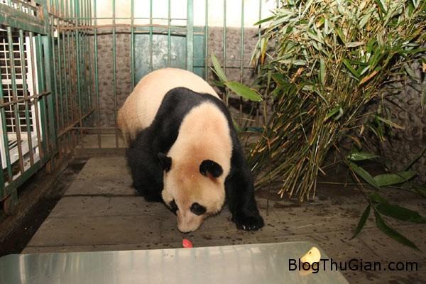140828 4gau 2da8f Gấu trúc giả mang thai đánh lừa nhân viên sở thú để được ăn uống thỏa thích