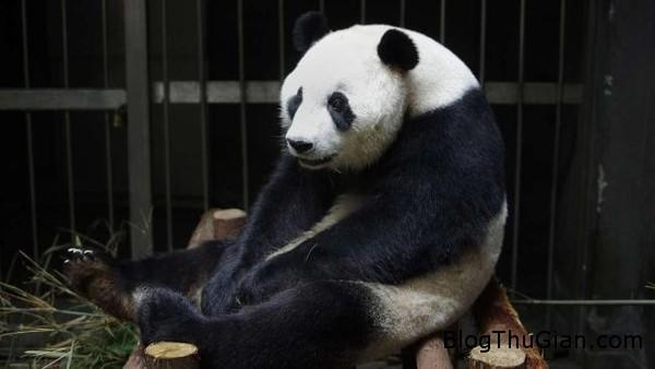 140828 5gau 2da8f Gấu trúc giả mang thai đánh lừa nhân viên sở thú để được ăn uống thỏa thích