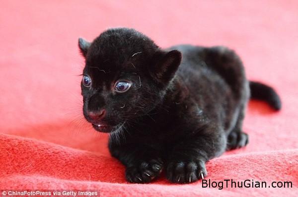 140828 5ho e2726 Vẻ đáng yêu của chú hổ con có bộ lông màu đen