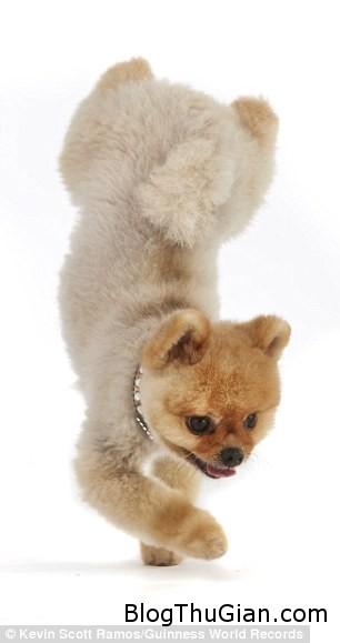 1409159542145 wps 23 Jiff a Pomeranian from Lo c05f3 Chú chó đi bằng hai chân nổi tiếng nhất thế giới