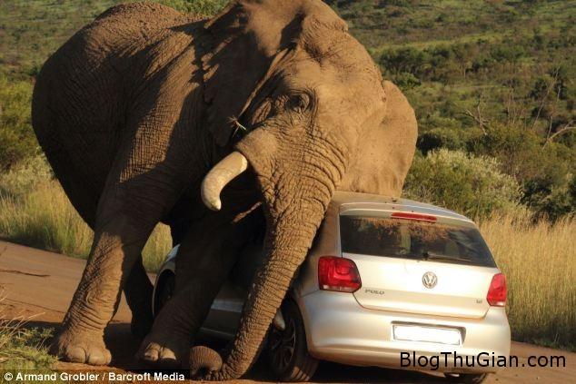 2 2 Cận cảnh chú voi đùa nghịch âu yếm xe oto làm du khách hoảng sợ