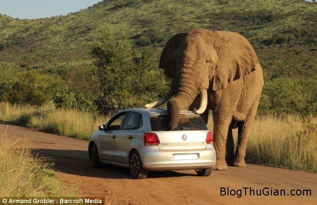 3 Cận cảnh chú voi đùa nghịch âu yếm xe oto làm du khách hoảng sợ