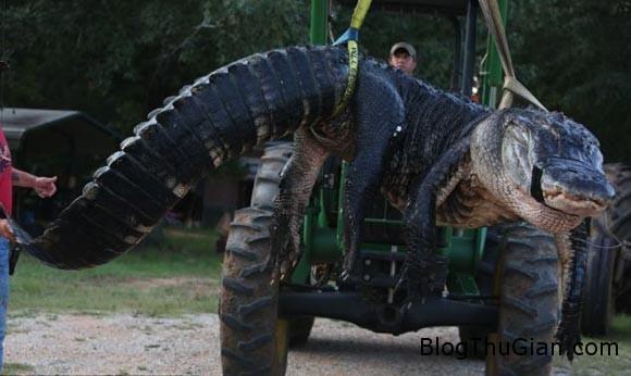 3c077158c86e81ee684c9c82c3aa8e Tóm gọn quái vật cá sấu gần 500kg sau 2 ngày mai phục